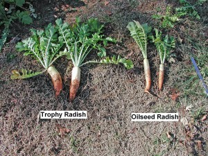 Trophy Radishes Versus Oilseed Radishes