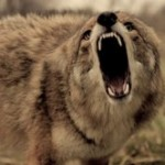 Coyote Traping