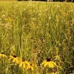 Native Warm Season Grasses Creating Deer Bedding Areas