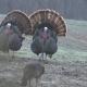Illinois turkey hunting