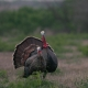 Texas Turkey Hunting